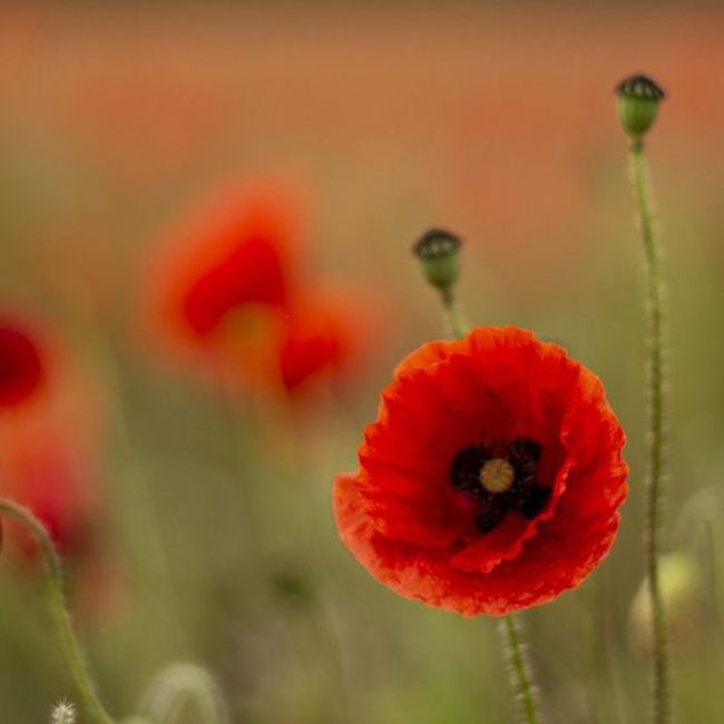 Remembrance Day 2020 Image